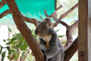 koala at billabong sanctuary